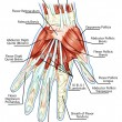 ������, ������: Anatomy of muscular system hand palm muscle tendons ligaments educational biological board