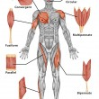 Anatomy of male muscular system - posterior view of type muscle - full body - Stock Photo