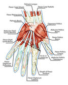 Anatomy of muscular system - hand, palm muscle - tendons, ligaments - educational biological board — Stock Photo