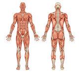 男性肌肉系统-后和前视图-全身的解剖 — 图库照片