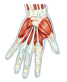 Anatomy of muscular system – hand, palm muscle - tendons, ligaments – educational biological board — Stock Photo