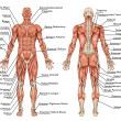 Anatomy of male muscular system - posterior and anterior view - full body - didactic — Stock Photo #14814391