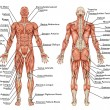 Stock Photo: Anatomy of male muscular system - posterior and anterior view - full body - didactic