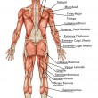 Anatomy of male muscular system posterior view full body  didactic - Stock Photo