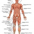 Постер, плакат: Anatomy of man muscular system anterior view – didactic