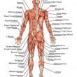 Anatomy of male muscular system - posterior and anterior view - full body  didactic - Stock Photo