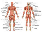 Anatomy of male muscular system - posterior and anterior view - full body - didactic — Foto Stock