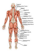 Anatomy of male muscular system posterior view full body – didactic — Stock Photo