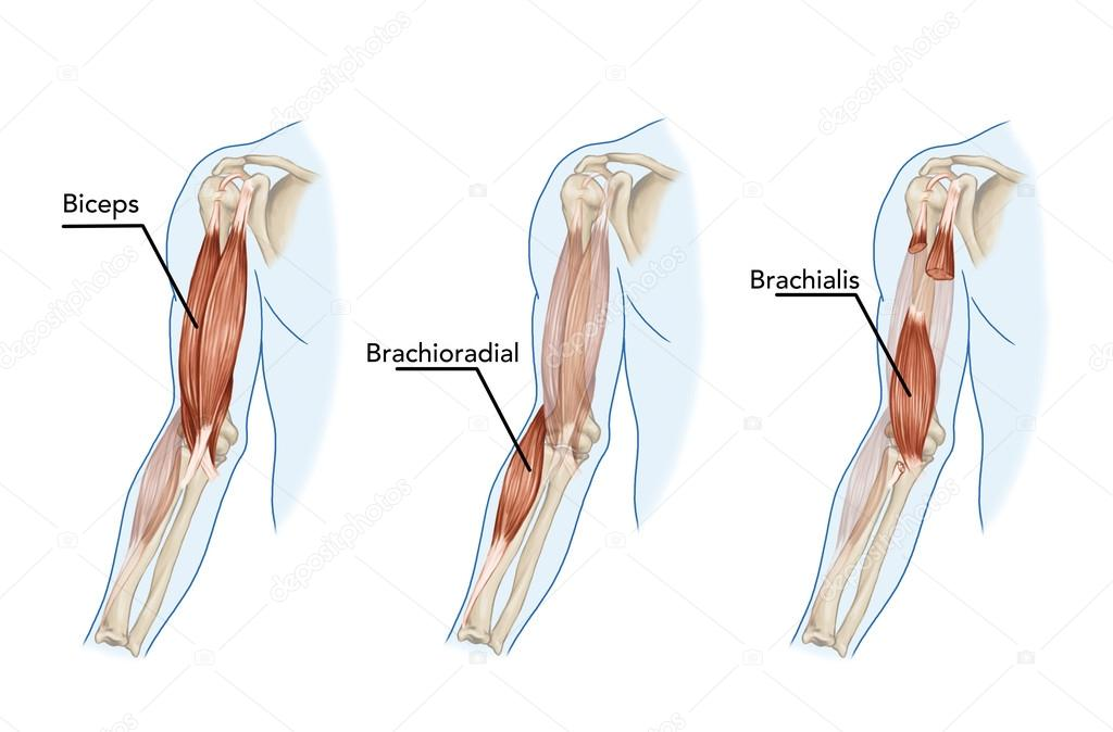 Bicep muscle anatomy