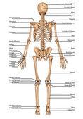 De plansha schelet falę 1 — Zdjęcie stockowe