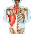 Rhomboid minor and rhomboid major, levator scapulae and latissimus dorsi muscles - didactic board of anatomy of human bony and muscular system, posterior view — Stock Photo