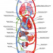 Stock Photo: Humbloodstream - didactic board of anatomy of blood system of humcirculation, sanguine and cardiovascular system