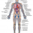 Stock Photo: Humbloodstream - didactic board of anatomy of blood system of humcirculation sanguine, cardiovascular, vascular and venous system