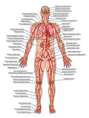 Human bloodstream - didactic board of anatomy of blood system of human circulation sanguine, cardiovascular, vascular and arterial system — Stock Photo