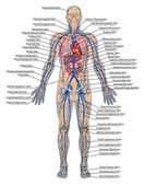 Human bloodstream - didactic board of anatomy of blood system of human circulation sanguine, cardiovascular, vascular and venous system — Foto Stock