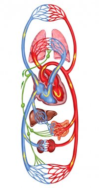 Human bloodstream - didactic board of anatomy of blood system of human circulation, sanguine and cardiovascular system