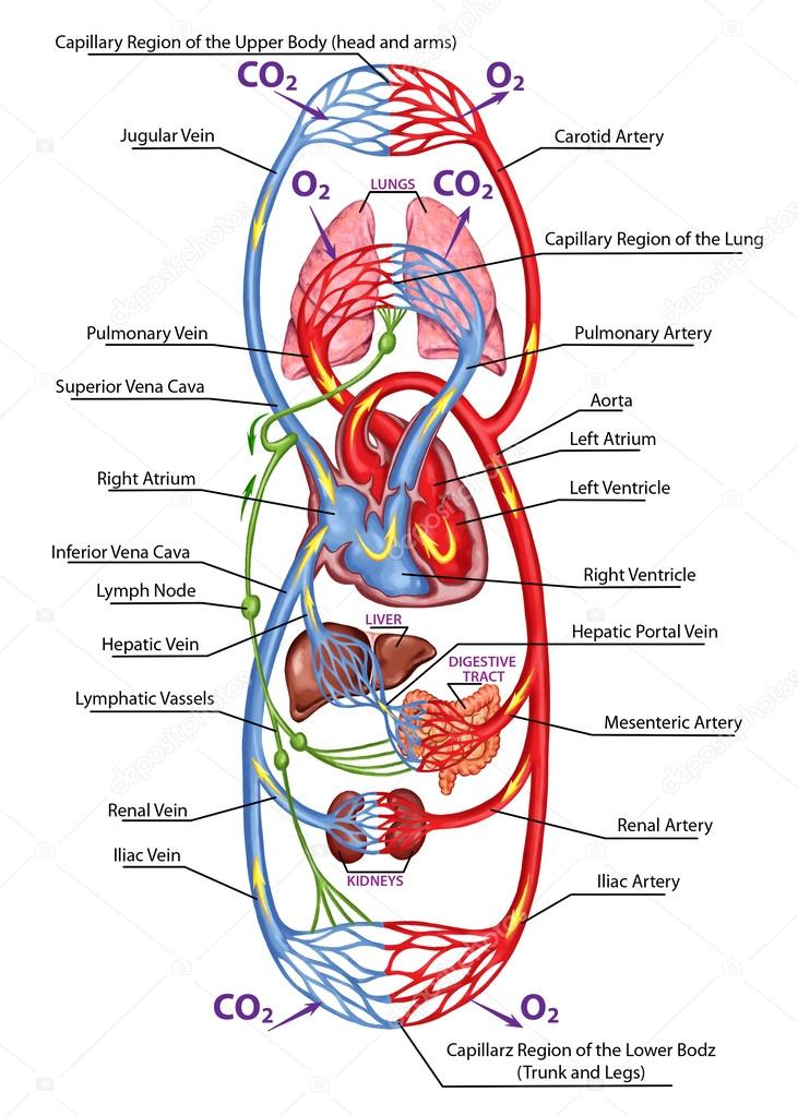10 Immediate Ways To Detox Your Lymphatic System And Get Rid Of Toxins That Make You Sick besides Lymphatic circulatory poster as well Which Vessels Supply Arterial Blood Flow To The Brain besides Picture Of Blood Vessels Circulatory System besides Hypoxia And Oxygen Therapy. on blood circulatory system