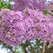 Branch of lilac — Stock Photo