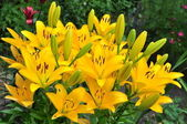 Yellow lilies(nove sento) — Stock Photo