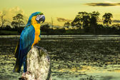 Blue and Yellow Macaw in Pantanal, Brazil — Stock Photo