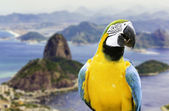 Blue and Yellow Macaw in Rio de Janeiro, Brazil — Stock Photo