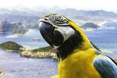 Blue and Yellow Macaw in Rio de Janeiro, Brazil — Photo