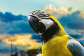 Blue and Yellow Macaw in Pantanal, Brazil — Stockfoto
