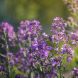 Stock Photo: Summer purple flowers