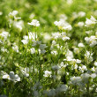 Stock Photo: Bright sunny white flowers