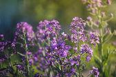 Summer purple flowers — Stock Photo