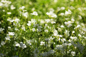 Bright sunny white flowers — Stock Photo