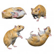 Hamsters - Stock Photo