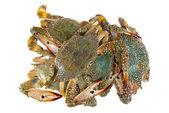 Blå krabba — Stockfoto
