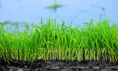 Rýže sazenice — Stock fotografie