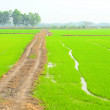 Rice Paddy — Stock Photo #40881647