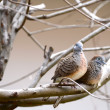 Doves — Stock Photo #40904931
