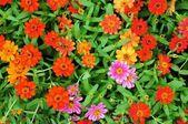 Fiori colorati — Foto Stock
