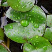 Lotus leaf — Stock Photo
