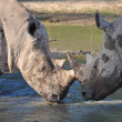 Stock Photo: Rhinos fighting