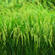 Stock Photo: Rice crop