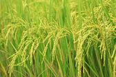 Rice Farm — Foto de Stock