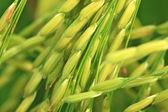 水稻农场 — 图库照片