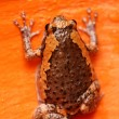 Brown toad — Stock Photo #41084887