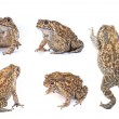 Toad — Stock Photo #41084899