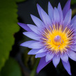 Water lilly — Stockfoto #41089833