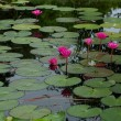 Water lilly — Stock Photo #41090197