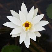 Bílý lotos — Stock fotografie