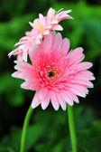 Pink gerber daisy — Stock Photo