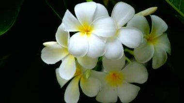 Plumeria flowers — Stock Video
