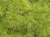 White Pine Needle Pattern — Stock Photo